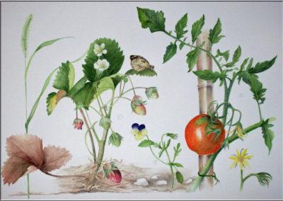Fraisier et tomate de mon jardin