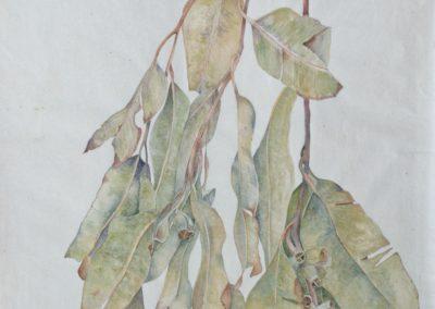 Eucalyptus 32X54,5
