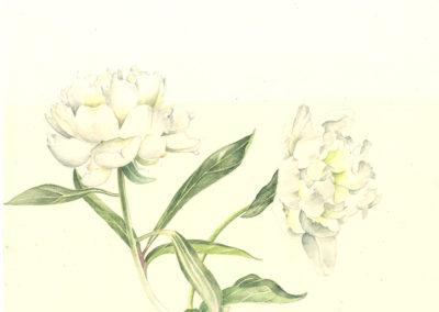 pivoine blanche 2
