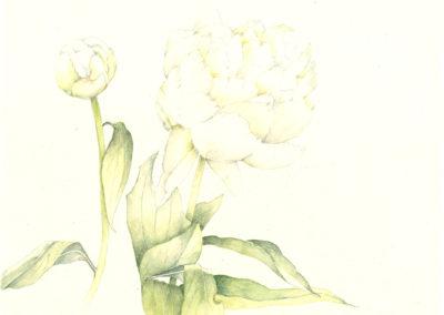 Pivoine blanche 1